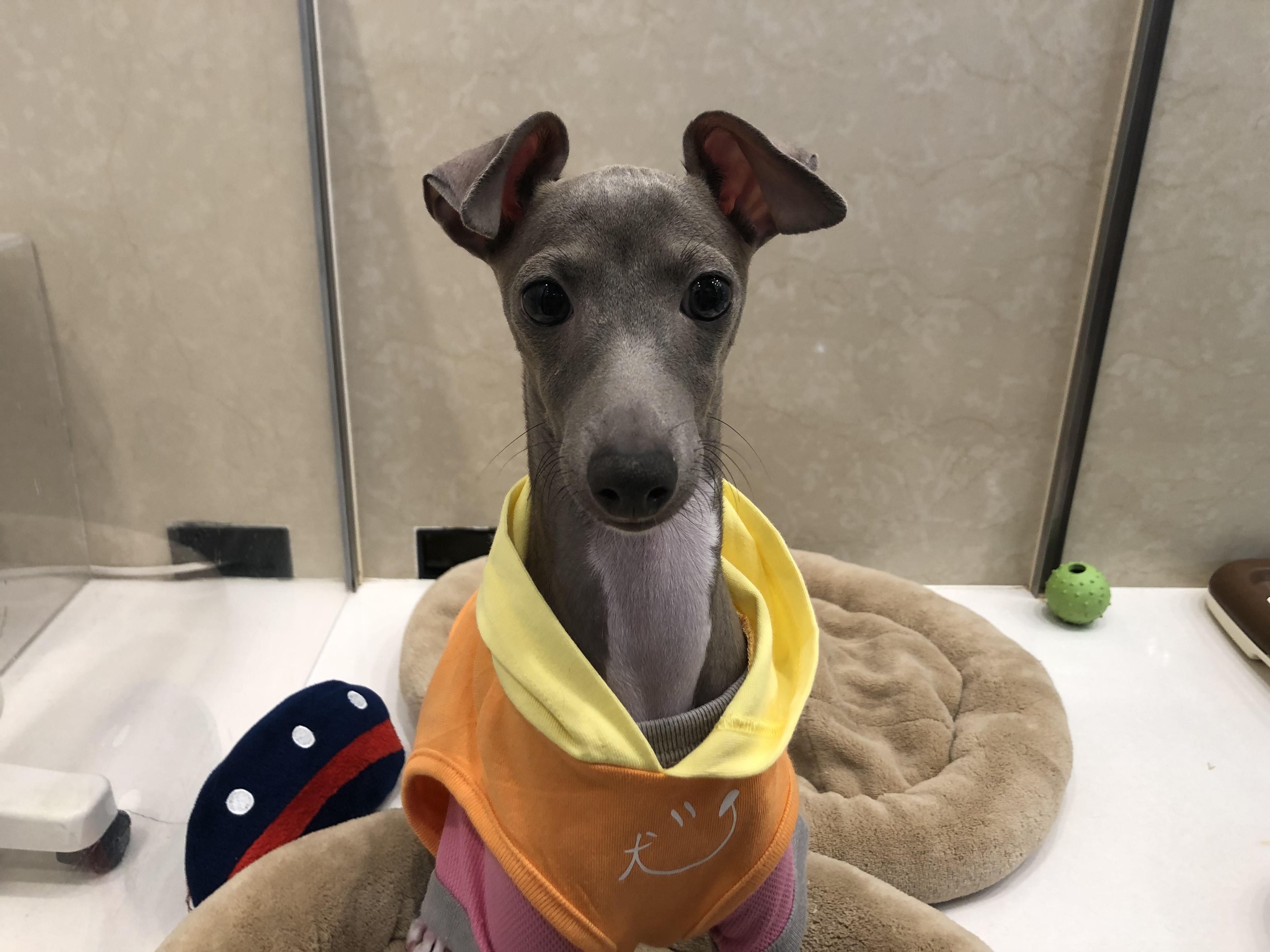 Image result for 犬 Italian Greyhound  浴室